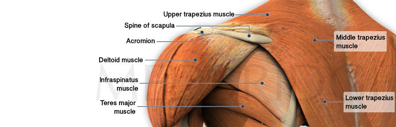 Best Exercises for the Trapezius Muscle